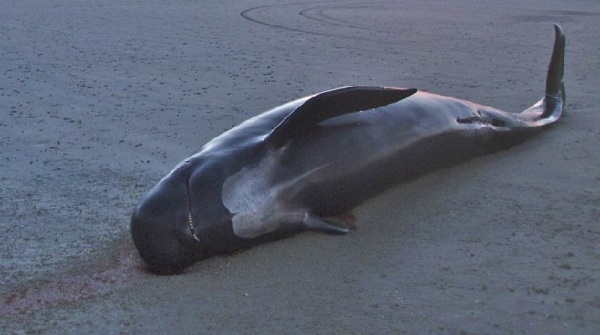 baleia-morta-tailandia-80-sacolas-plasticas-conexao-planeta
